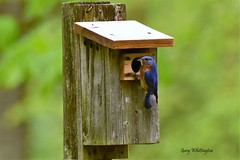 Blue Bird_0176 (2)E (Porch Dog) Tags: 2018 garywhittington kentucky nikond750 nikkor200500mm wildlife nature avian bird feathers bluebird birdhouse lbl landbetweenthelakes betweentherivers
