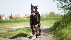 Come, boy (zola.kovacsh) Tags: outdoor animal pet dog dobermann doberman pinscher ipo schutzhund grass meadow