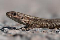 Viviparous lizard (SamiPuranen) Tags: sisilisko viviparouslizard suomi suomenluonnonvalokuvaajat luontokuvaus luonto lizard nature naturephotography 2018 sony sonyphotography sonyrx10iv sonyrx10mk4 ngc