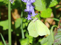 Brimstone - Denge Wood  IMG_4647 (mikehook51) Tags: avian butterfly bbcspringwatch brimstone common canoneos7dmk11 dengewood england fauna flora forestrycommission insect kent lepidoptera may nature plants bluebell sunshine spring uk underwing veins wildlife winged wild woodland woods yellow