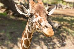 Tatu (shutterbugdancer) Tags: africansavanna animals reticulatedgiraffe fortworthzoo fortworth