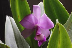 orchidea dal Costa Rica (J. Shejbal) Tags: costarica orchid