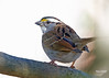0204 White-throated Sparrow (vtbirdhouses) Tags: whitethroatedsparrow