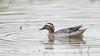 Sarcelle d'été (Anas Querquedula) (denis.loyaux) Tags: denis loyaux domaine des oiseaux nikon afs600f4vr d5 anasquerquedula anatidés ansériformes ariège garganey mazères sarcelledété france