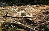nest egg (midcheshireman) Tags: bird egg muteswan swan cheshire cygnet