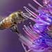 Bee at Pride of Madeira