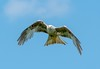 White Red Kite (Chris Willis 10) Tags: bird redkite nature flying animal wildlife animalwing birdofprey animalsinthewild sky outdoors feather blue beak animalshunting carnivore hawkbird beautyinnature freedom kite