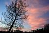Leaning (NaturalLight) Tags: cottonwood tree pink cirrus sunset chisholmcreekpark wichita kansas