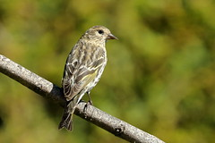 Pine Siskin (brian.bemmels) Tags: spinuspinus spinus pinus pinesiskin siskin pine backyardbirds backyard bird richmond bc britishcolumbia canada nature fauna outdoors wildlife birdsofbc
