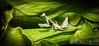Pseudoxyops perpulchra (Peruvian Leaf Mantis) (Female - 5th instar) (Andrew Mitchell_Unseen Universe) Tags: pseudoxyopsperpulchra peruvianmantis pseudoxyops peruvianprayingmantis peruvianleafmantis leafmantis leafprayingmantis prayingmantis mantid mantis mantodea invertebrate insects instar insectmacrophotography insectphotography insect andrewmitchell unseenuniverse macro macrophotography mitch mitchell