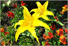 Yellow Lilies .. (** Janets Photos **) Tags: uk flowers flora plantsyellowlilies nature symbolicmeanings