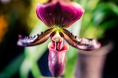 Orchid 6 (rg69olds) Tags: 03252018 35mm 35mmf14dghsm 5d 5dmk4 canoneos5dmarkiv canondigitalcamera lauritzengardens nebraska sigma35mmf14artdghsm canon flower omaha orchidshow plant sigma bloom purple indoor 35mmf14dghsm|a