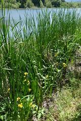 *Iris pseudacorus, TALL YELLOW IRIS (openspacer) Tags: iridaceae iris jasperridgebiologicalpreserve jrbp lake nonnative yellowiris