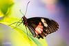Doris passiebloemvlinder (Jaap Mechielsen) Tags: burgerszoo vlinder fauna dierentuin dorispassiebloemvlinder animal butterfly dier dorislongwing heliconiusdoris zoo arnhem gelderland nederland nl