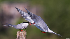 Sternes Pierregarin (gilbert.calatayud) Tags: charadriiformes commontern laridés sternahirundo sternepierregarin bird oiseau laddo domaine des oiseaux mazères ariège occitanie