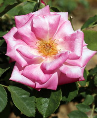 Sunlit rose (JoelDeluxe) Tags: albuquerqueplantcenter pink rose flowers newmexiconmjoeldeluxe nm newmexico joeldeluxe
