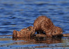 Mink On The Move_32 (Scott_Knight) Tags: mink mammal nature fur brown wisonsin log swimmer canon greatphotographers