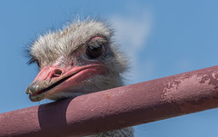 Who called me an airhead? (Pejasar) Tags: ostrich bird eye eyelids animal creature woolaroc bartlesville oklahoma pipefence bluesky headintheclouds zoosofnorthamerica beak