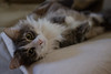 Fluffy Belly (Ron Buening) Tags: cat bokeh fluffy belly nose ear whiskers pillow couch