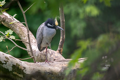Yellow crowned night heron (Nature as Art Photography) Tags: slaughterbeach birds delaware shorebirds