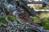 Adult female, White-throated Sparrow , Bidgood's Park (frank.king2014) Tags: whitethroatedsparrow adultfemale stjohns newfoundlandandlabrador canada ca