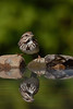Bruant chanteur/Song sparrow (jean-francoislavallée) Tags: bird bruant chanteur song sparrow nature wildlife quebec canada