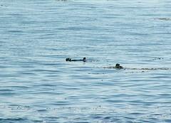 Sea Otters (Photo Nut 2011) Tags: monterey california