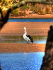Pelican on sand flat (elphweb) Tags: hdr highdynamicrange nsw australia bird birds pelican beach water lake sea ocean sand sandy
