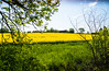 Framed landscape (Maria Eklind) Tags: frame countryside fs180520 skåne landscape rapeseedfield landskap fotosondag foto outdoor malmö rapeseed oxie field skånelän sverige se grass tree sky rapsfält raps