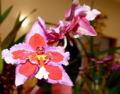 """Orchid Society of California """"Mothers' Day Weekend Orchid Show & Sale; orchid 5-18 (nolehace) Tags: orchid 518 orchidsocietyofcalifornia mothersday show sale society california mothers day weekend showsale 2018 flower bloom plant spring nolehace sanfrancisco oakland lakemerritt fz1000"""