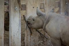 baby rhino 03 - Cleveland Zoo (Tim Evanson) Tags: easternblackrhino rhino clevelandmetroparkszoo clevelandzoo clevelandohio dicerosbicornismichaeli