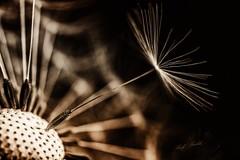 Next one (Ralf_Budde) Tags: flickr ralfbudde dandelion blossom wild garden blackandwhite