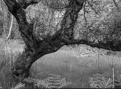 Hawthorn (Hyons Wood) (Jonathan Carr) Tags: ancient woodland trees black white bw mediumformat rural northeast landscape acros ddx mamiya hawthorn