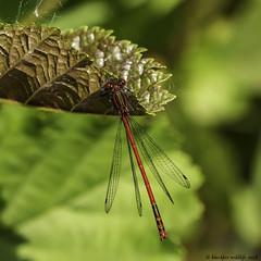 damsel in distress (blackfox wildlife and nature imaging) Tags: panasonicg80 leica100400 damselflies conwayrspb wales insects closeups