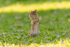 Chipmunk Paradise (JennyPops17) Tags: rodent chipmunk summer spring animals