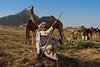 Pushkar Mela. Rajasthan (Tito Dalmau) Tags: rabari man camels fair mela pushkar rajasthan india
