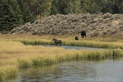 "Moose at Schwabacher's Landing • <a style=""font-size:0.8em;"" href=""http://www.flickr.com/photos/63501323@N07/26857897637/"" target=""_blank"">View on Flickr</a>"