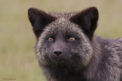 Silver Fox   Renard argenté (shimmeringenergy) Tags: renard fox melanisticform redfox silverfox renardargenté vulpesvulpes vixen renarde canoneos7dmarkii ef100400f4556lisiiusm