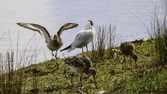 dance of the godwits (blackfox wildlife and nature imaging) Tags: panasonicg80 leica100400 handheld bif burtonmerewetlands wirral gulls godwits