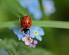 Seven Spotted Ladybird (microwyred) Tags: grass spotted events ladybug nature flower leaf places greencolor animal small plant macro beetle beautyinnature outdoors insect red closeup environment summer hurcottwoods springtime wildflowers