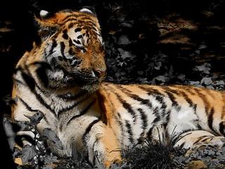 Leipzig Zoo / Tiger