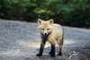 Young one (Seventh day photography.ca) Tags: redfox fox animal mammal wildanimal wildlife predator ontario canada carnivore kit young