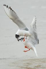 Mine, mine, mine (Earl Reinink) Tags: bird wildlike animal flying sky water earl reinink earlreinink ditaiahdza gull bonapartegull fish minnow sea