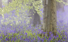 Bluebell bokeh (pixellesley) Tags: bluebells flowers beeches leaves fresh spring beechtrees mist early dawn bokeh blurry depth forest uk landscape lesleygooding hyacinthoidesnonscripta