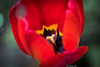 Tulpe 1888 (Peter Goll thx for +7.000.000 views) Tags: erlangen germany macro makro tulip tulpe flower blume frühling spring