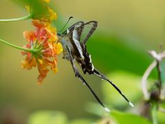 燕鳳蝶 (White Dragontail Butterfly): Olympus E-M1 MkII / Leica DG Vario-Elmar 100-400mm f/4-6.3 O.I.S (ansel.ma) Tags: 燕鳳蝶 whitedragontailbutterfly olympusem1mkii leicadgvarioelmar100400mmf463ois butterfly