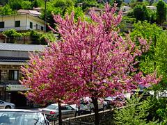 Κουτσουπια ανθισμενη Πραμαντα Τζουμερκα Ηπειρος DSC02693 (omirou56) Tags: 43ratio sonydschx60v tzoumerka epirus tree outdoor hellas pramanta πραμαντα τζουμερκα ηπειροσ ελλαδα δεντρο