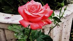 Rose flower, роза (Anna Gelashvili) Tags: цветокроза роза rose flower цветок flowers цветочки garden roseflower ვარდი ვარდისფერივარდი