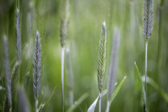 Grass ears (czmyras) Tags: grass ears grassears helion helionm44 gree macro garder meadow canon canon6d oldlens