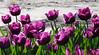 Tulips basking in the evening sunlight (EvelienNL) Tags: flower flowers tulip tulips bloem bloemen tulp tulpen flowerfield flowerbed field bulbfield tulipfield bollenveld bollenvelden tulpenveld tulpenvelden bloemenveld bloemenvelden lente voorjaar spring colourful kleurrijk flevoland flevopolder zeewolde dutch holland netherlands purple paars